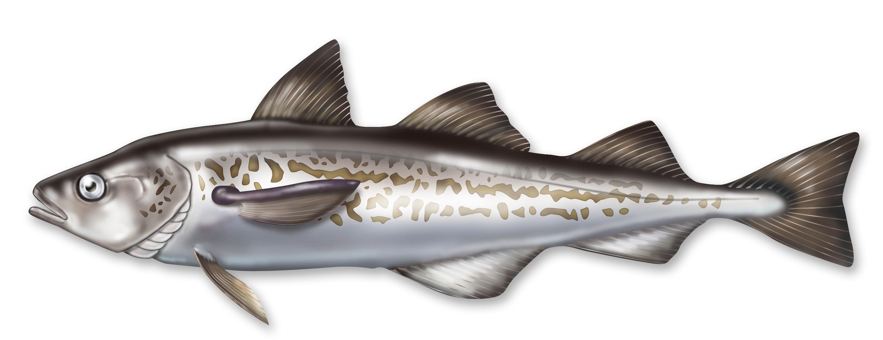 Fish - Pollock